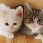 猫の腎不全、東大チーム原因解明!今後猫が長生きできる